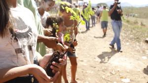 Mudas Pau Brasil