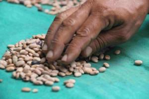 mao sementes